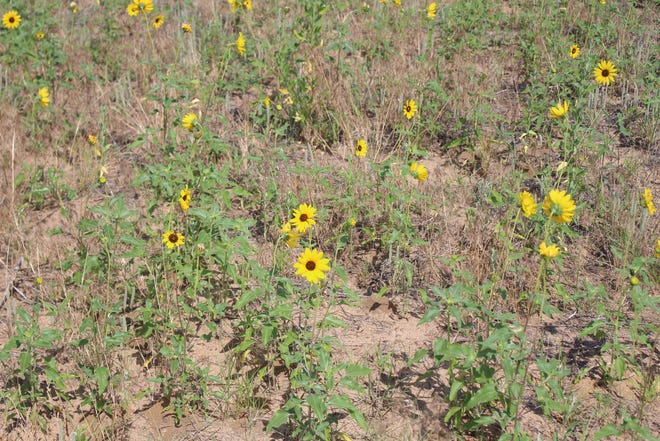 Pratt County sunflowers applaud local people who step up to public service on various boards.