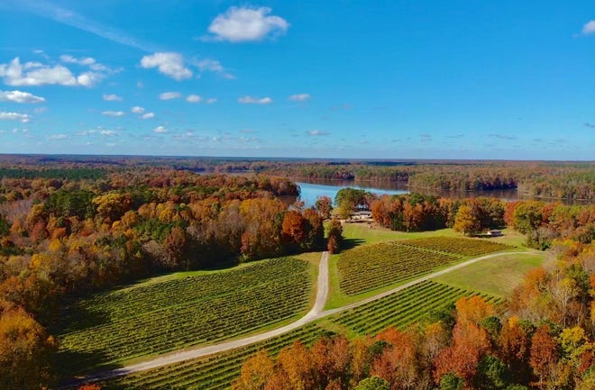 This photo shows a vineyard in Dinwiddie County owned by the Thibault family that produces grapes for wine made by Ashton Creek Vineyards in Chester.