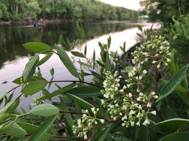 This native wildflower, believed to be dogbane, also known as Indian hemp, grows Sunday along the St. Joseph River near the boat launch just north of Cleveland Road in South Bend.
