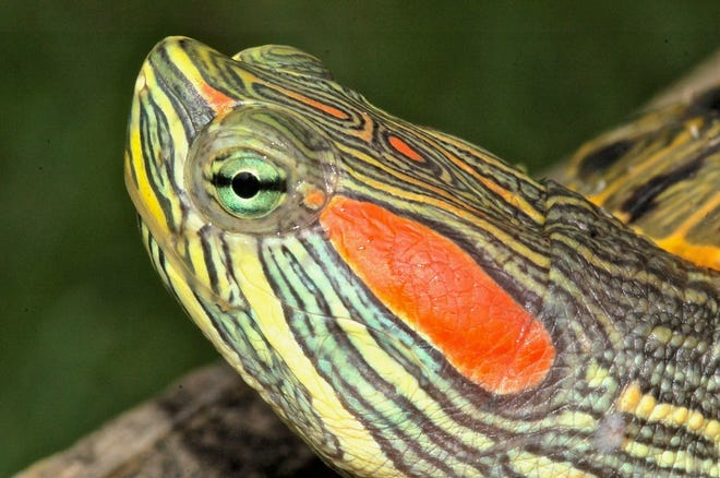 Red-eared slider turtles released as unwanted pets are now established in countries around the world and are often viewed as an invasive species. [Photo courtesy Jim Harding]