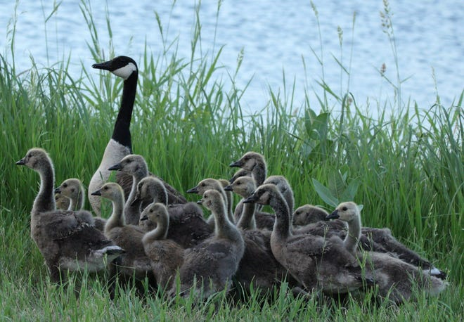A flock of baby geese with an adult gather along the sloughs near the intersection of state Highway 20 and 174th Street Saturday evening.