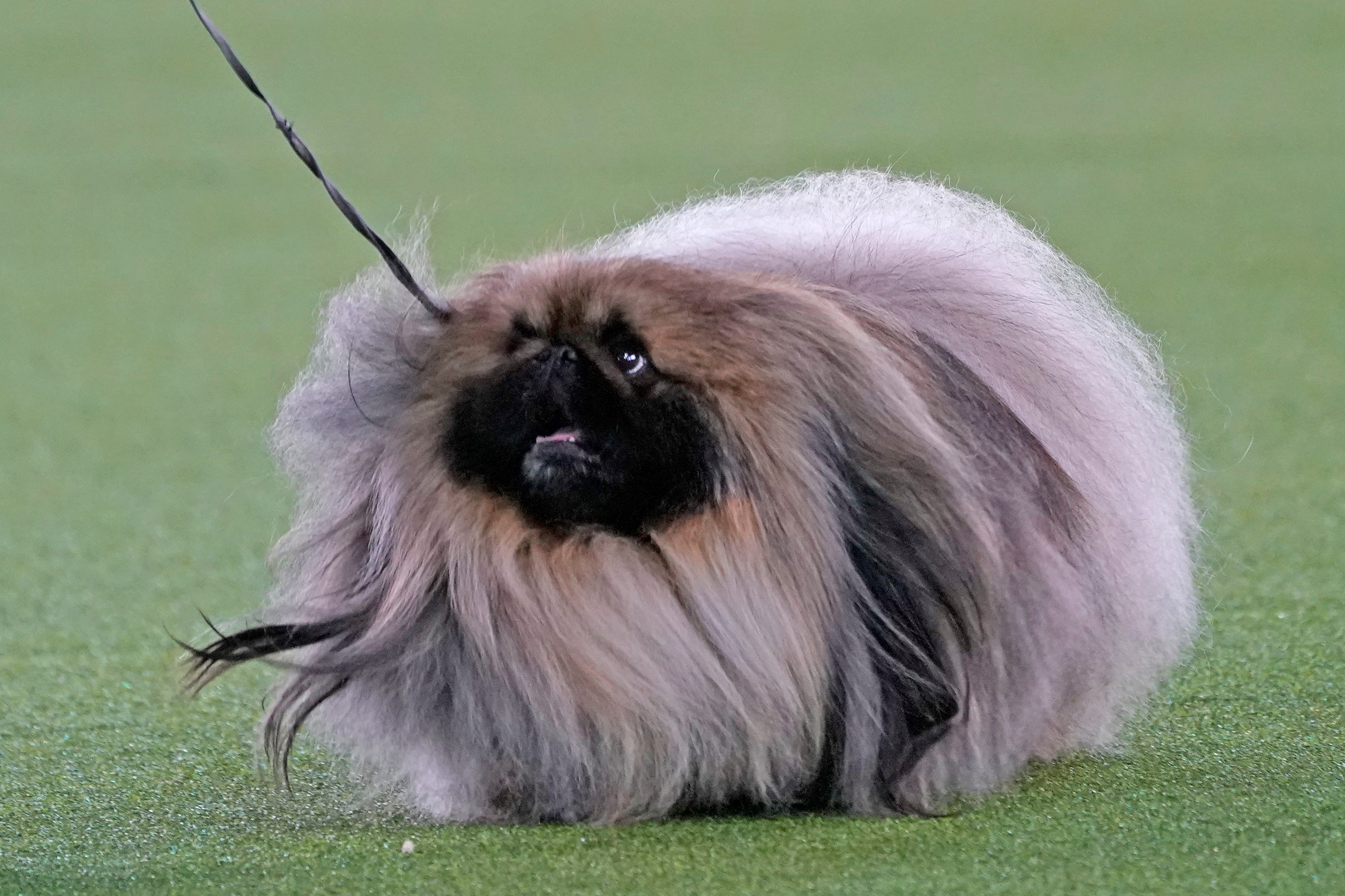 Top dog! Pekingese named Wasabi wins Westminster dog show 2