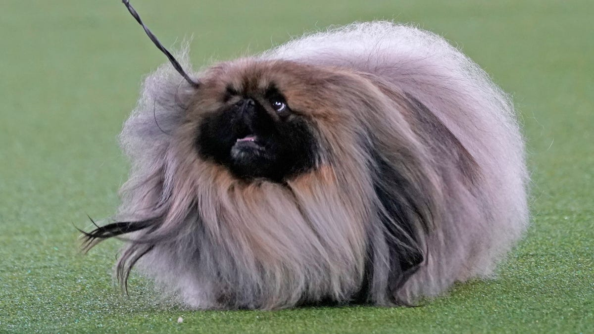 Top dog! Pekingese named Wasabi wins Westminster dog show 3