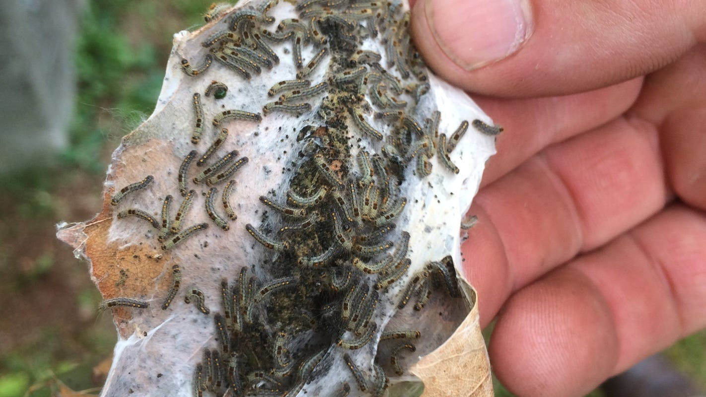 <p>These caterpillars are poisoning people in Maine, Resulting in painful rashes thumbnail