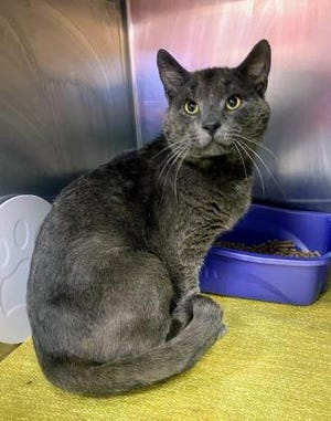 Farley is one of over 60 cats that will be available at the Summit County Humane Society's Camp Adoptacat event. He plays hard to get at first, but once you start petting him he can't get enough love. Farley is talkative and will greet you with a meow when he is looking for attention.