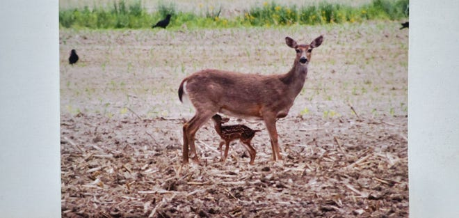 Doug Eagle of Ashland took this photo of a newborn fawn's first milk in southern Ashland County in the middle of a planted field.