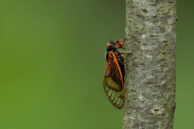 A Brood X cicada hangs onto a tree trunk on Tuesday, June 15, 2021 at Highbanks Metro Park in Lewis Center, Ohio.