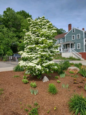 The dogwood tree that graces an adopt-a-spot on Market Street in Somersworth in all its glory.