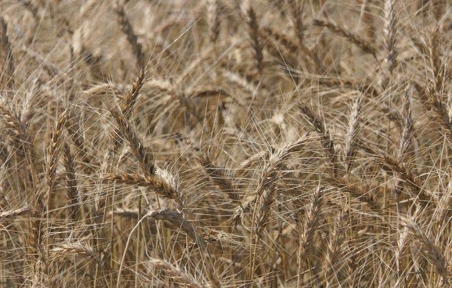 A wheat field in Pretty Prairie just before wheat harvest 2021.