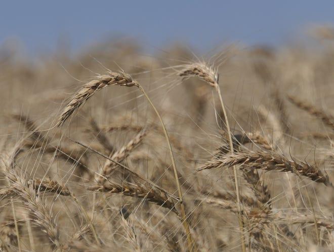 A wheat field in Pretty Prairie - just before wheat harvest 2021.