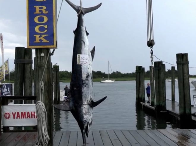 The Natural brought in a 521.6-pound marlin Tuesday at the Big Rock Blue Marlin tournament. [Big Rock Photo]