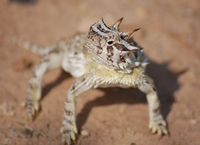 """The Texas horned lizard is also called a """"horny toad."""" No matter the name, the spiked reptile sometimes becomes a roadrunner's meal."""