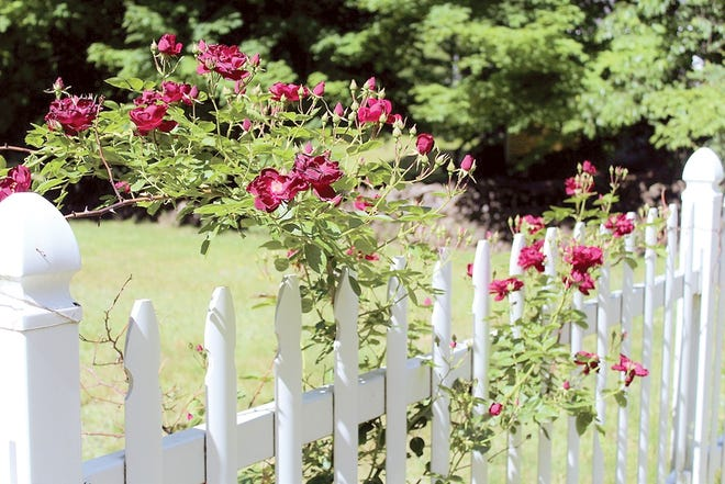 An old-time picket fence is not as heat-reflective as vinyl fencing.