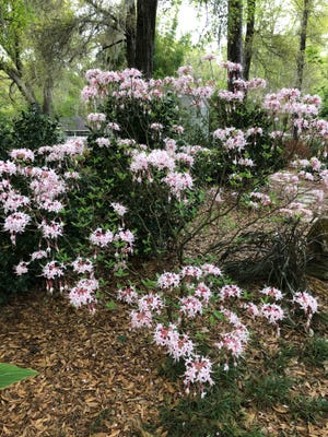 """A Pink Pinxter Azalea, one flowering plant that might be recommended for your yard by the new Florida-Friendly Landscaping """"FFL Plant Guide"""" mobile app from the University of Florida Institute of Food and Agricultural Sciences FFL program. (Photo by Tom Wichman)"""