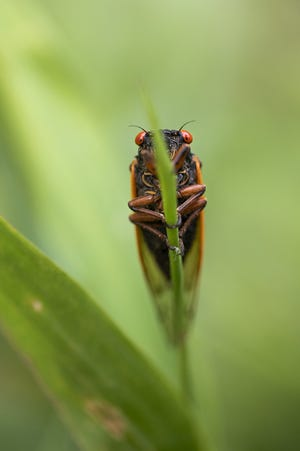 A cicada rests on a blade of grass in a yard in Dublin. Brood X which is made up of three different species of Cicadas, comes out every 17 years to mate and then die, and then the newly hatched nymphs fall to the ground and dig down, for the next 17 years.