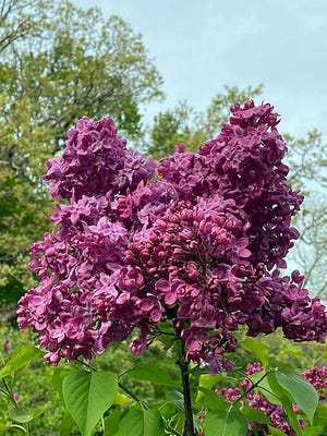 The blooming trees always add to the beauty of the Arnold Arboretum in the spring.