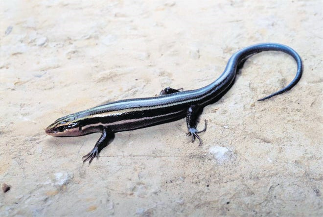 A five-lined skink.