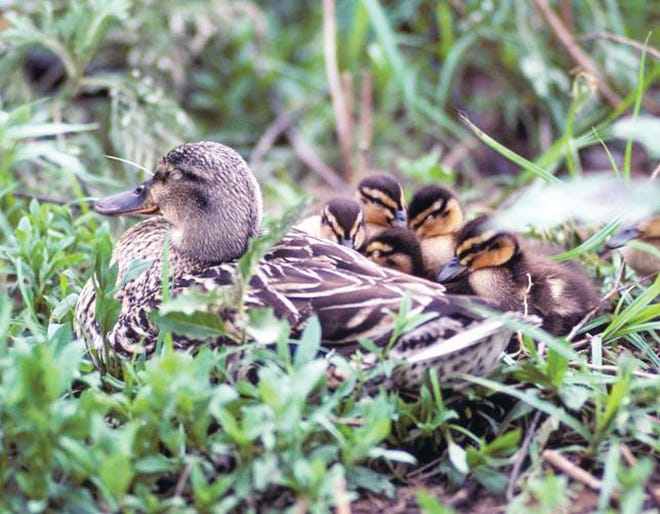 Ducks need wetlands to breed and drought conditions reduce suitable habitat.