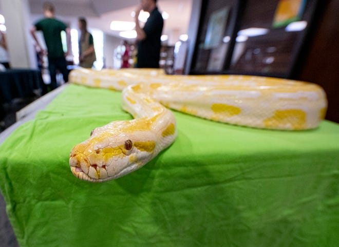 An albino Burmese Python slithers across the table during a live reptile show at the Tuscaloosa Public Library on July 16, 2019. Weeks before, a yellow python was spotted in the back yard of an Alberta residence, but searches for it proved unsuccessful. [File photo/Jake Arthur]