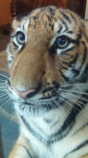 The Cincinnati Zoo and Botanical Garden had to euthanize one of its tigers last Friday.