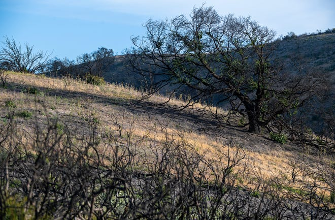 A large burnt tree leaning to the side is photographed inside Toro Park in Salinas, Calif., on Saturday, June 5, 2021.