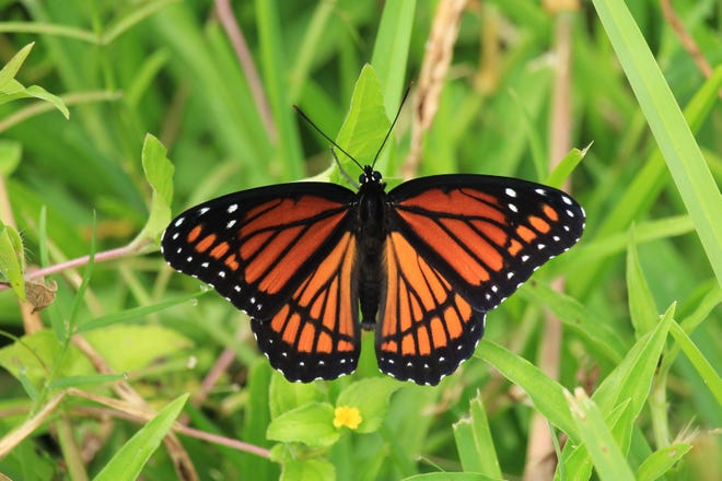 The Viceroy Butterfly is known for looking like other butterflies, such as the Monarch and Queen Butterflies.