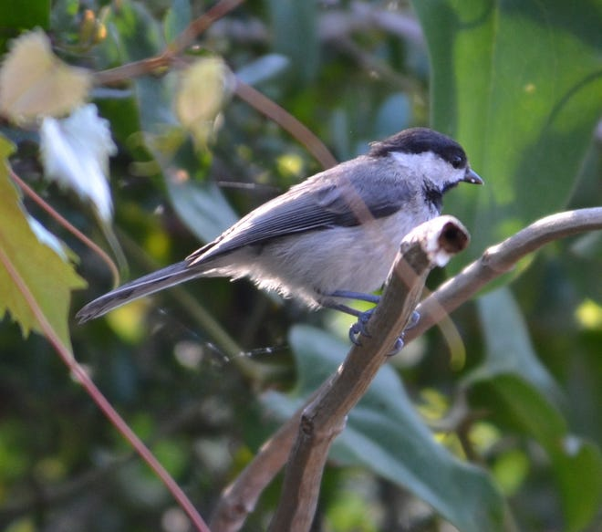 Chickadees like heavy foliage environments. While it can make viewing difficult, their pleasant songs project far beyond their leafy hideouts.