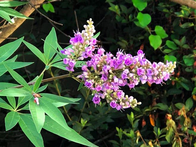 "Chaste-tree,"" Vitex agnus-castus, has a number of medicinal uses."