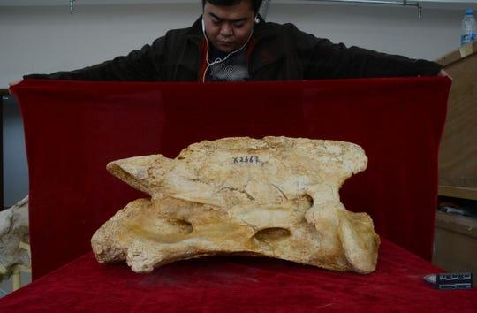 शोधकर्ताओं ने 26.5 मिलियन साल पहले के एक नए प्रकार के विशालकाय गैंडे के जीवाश्म की खोज की है।