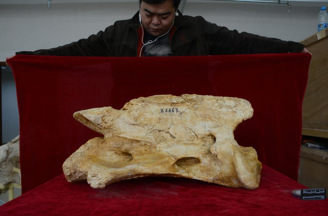 Researchers have discovered a new species of giant rhino fossils dating back to 26.5 million years ago.