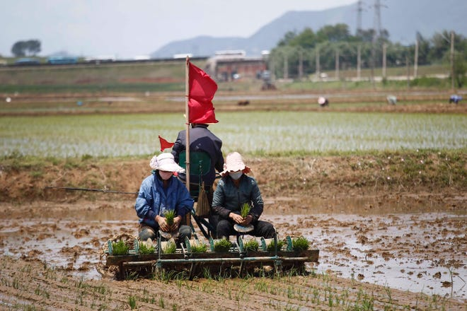 Farmers are transplanting rice at the Namsa Co-op Farm of Rangnang District in Pyongyang, North Korea, on Tuesday, May 25, 2021.