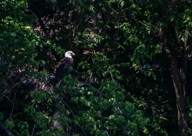 A bald eagle sits in a tree overlooking the Beaver River Wednesday in New Brighton.