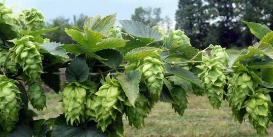 A new hops breeding program at Cornell AgriTech will grow and develop signature New York hops varieties – selected for high-yield, preferred flavors and disease resistance – in support of the state's $3.4 billion craft brewing industry.