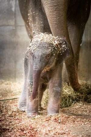 Phoebe, a 33-year-old elephant, gave birth on June 16, 2021, to a male Asian elephant calf at the Columbus Zoo and Aquarium's Asia Quest region.