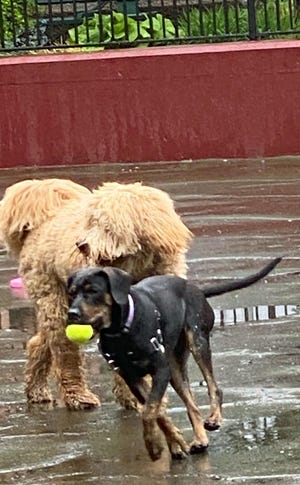 These dogs are having fun chasing balls at the Carleton Court Dog Park in the South End.