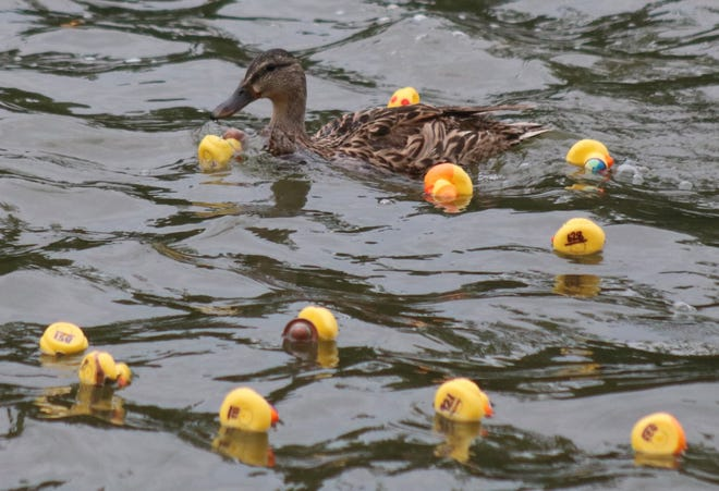 A wild mallard checks out her rubber ducky relatives during the 2019 Ducky Dash in downtown Monroe. The event returns this August after having been canceled last year due to the coronavirus pandemic.