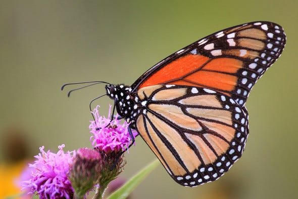 A monarch butterfly.  Learn about these pollinating partners in a virtual presentation, then see them in person at Davidson Conservation Area, by attending a free two-part MDC program June 23 and 26.