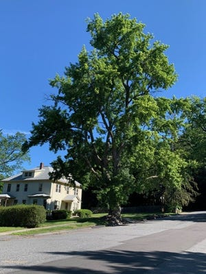 This tree, tight to the pavement at 357 Newton Ave. North, could soon come down.