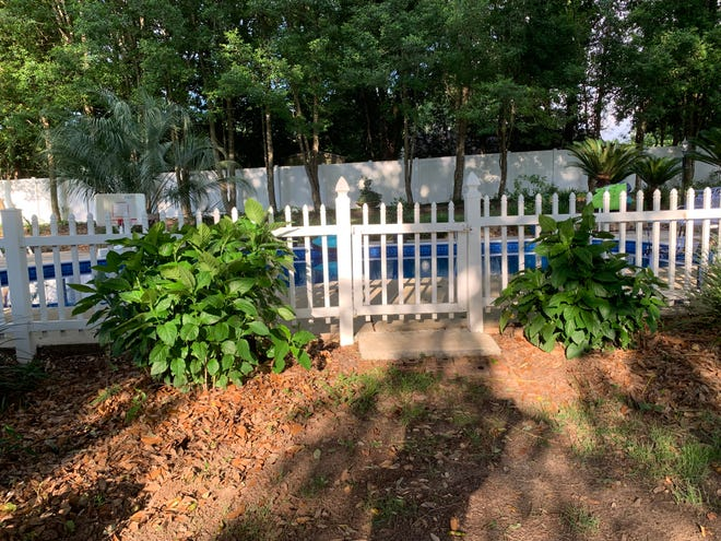 Cardinal Guard from her father's yard transplanted at Candace's pool gate