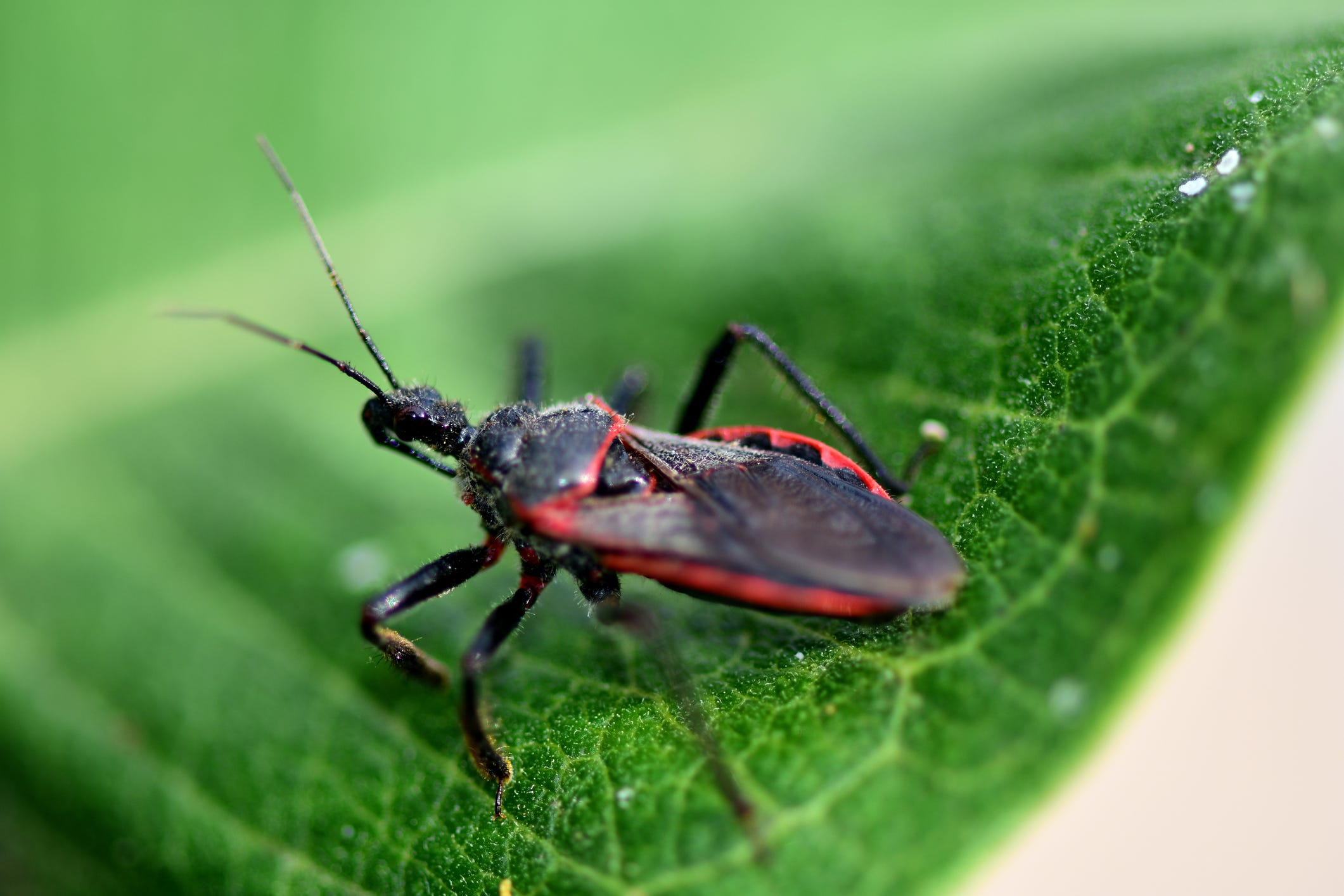 300K Americans may live with a chronic, deadly disease transmitted by the  kissing bug.  What is Chagas and why are doctors missing it?