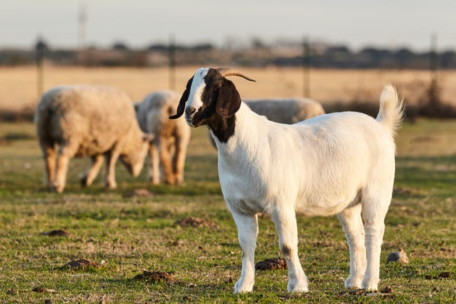 Keeping goats and sheep at a body condition score 2.5 to 3 is beneficial to their health, reproduction and overall performance.