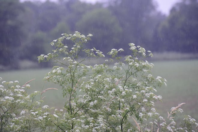 A patch of poison hemlock grows off Biddle Road in eastern Crawford County.