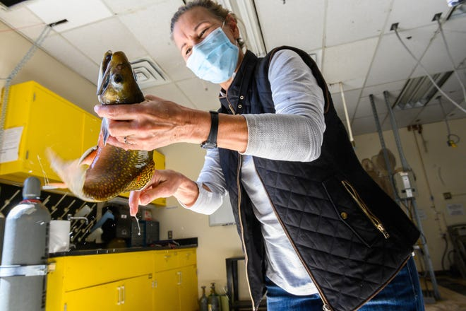 Colleen Caldwell, leader of the New Mexico Cooperative Fish and Wildlife Research Unit and affiliate professor in the Department of Fish, Wildlife and Conservation Ecology at New Mexico State University, holds a Trojan trout in her lab at NMSU. Her research centers on the ecological effects of environmental disturbances on aquatic systems.