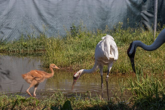 A whooping crane chick called Wampanoag forages with its surrogate parents in an enclosure at the International Crane Foundation in Baraboo.