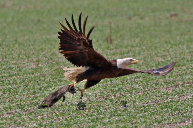 An adult bald eagle snatches a young raccoon in a field near Genoa. The bald eagle's primary diiet is fish. They also eat a variety of other animals and birds that are available easily.