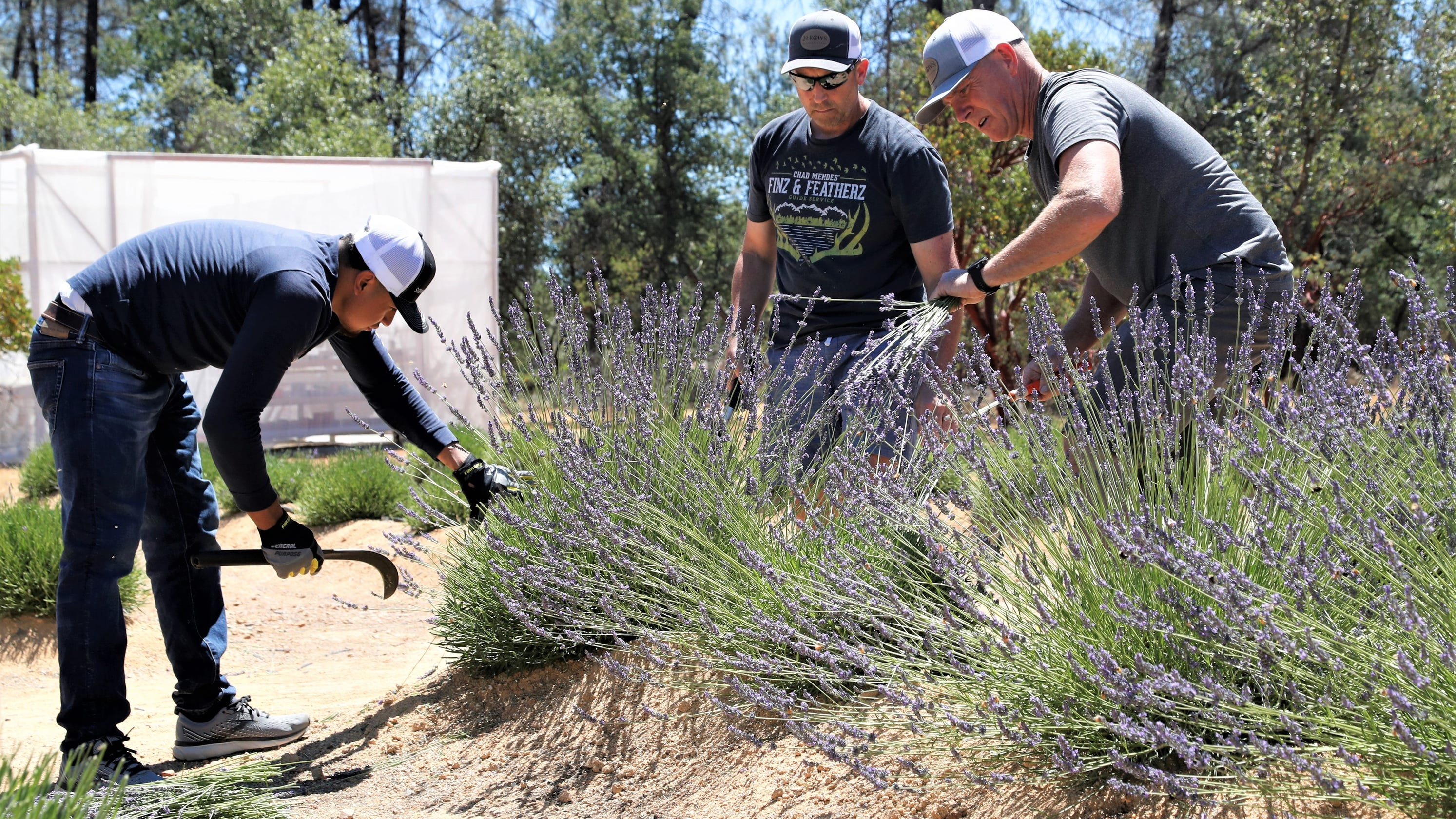 Annual lavender harvest a fragrant experience at family-run farm in Happy Valley