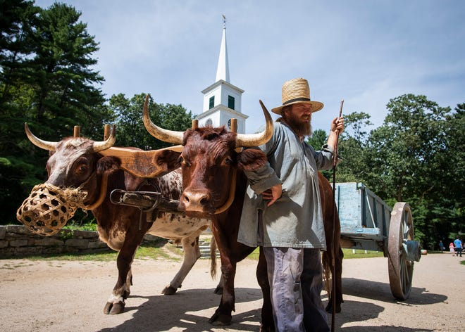Bulls Sidney and Tom join Dave Hruska around the common during Muster Day at Old Sturbridge Village.
