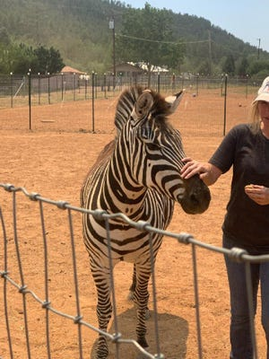 A zebra is among the animals rescued during the Backbone Fire on June 20, 2021.