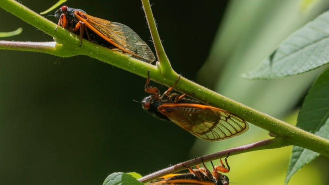 Annual cicadas emerge in the US after Brood X died this summer