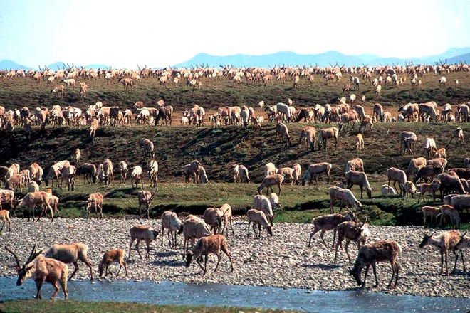 Porcupine caribou migrate onto the coastal plain of the Arctic National Wildlife Refuge in northeast Alaska.
